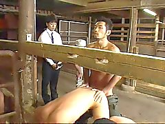 ( New Sexual ) Gay Melk Boerderij - 02